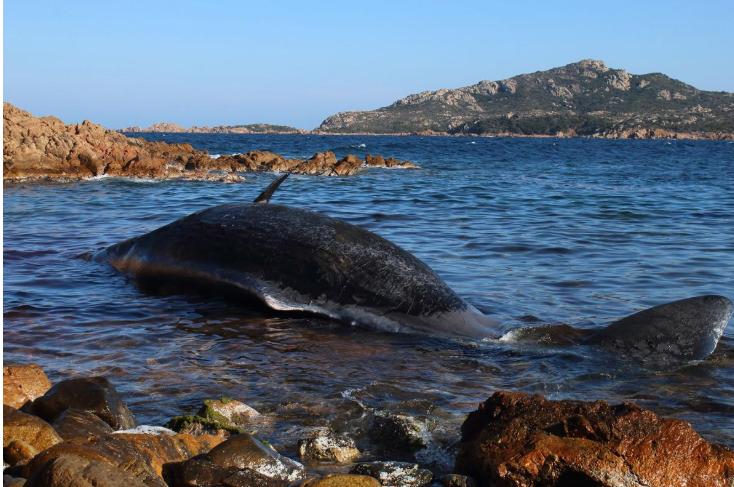 Dead Pregnant Whale